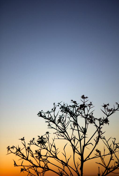 Twilight Plant