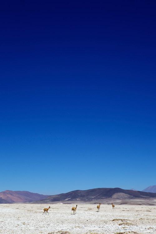 Vicunas walking on mountainous landscape