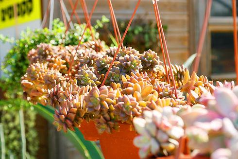 Succulents in Sun