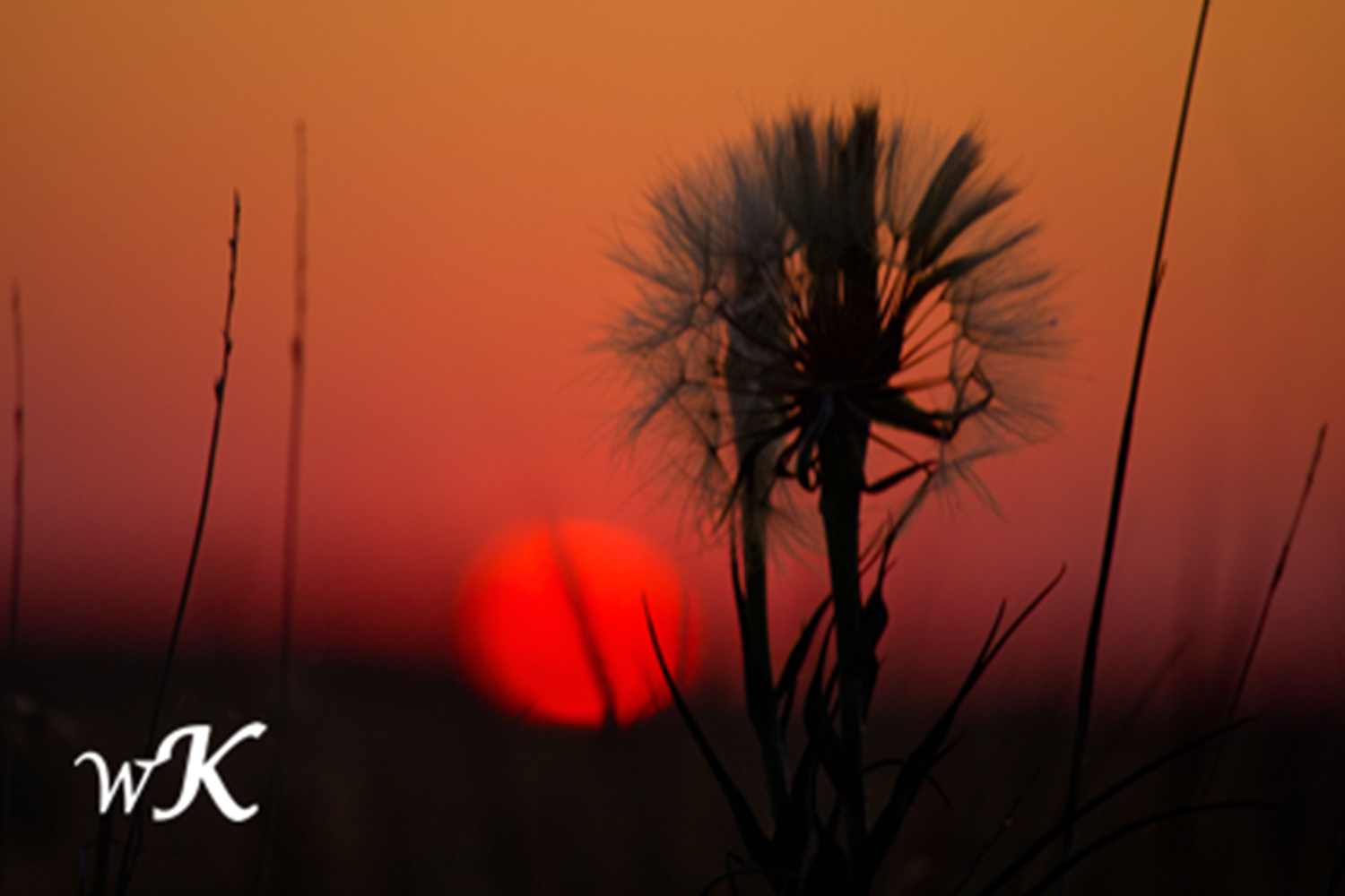 Salsify Silhouette