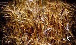 Wheat-Gold