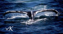 Humpback Tailfins