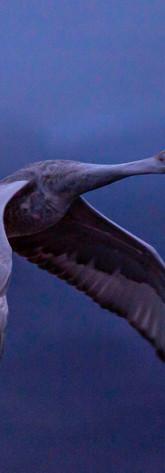 Flyout - Sandhill Crane