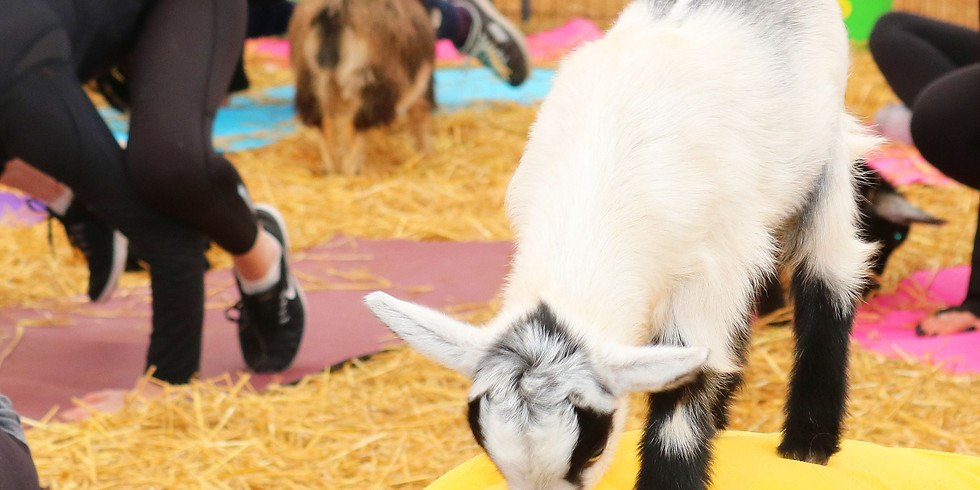 Yoga with Goats at Triple C Farm