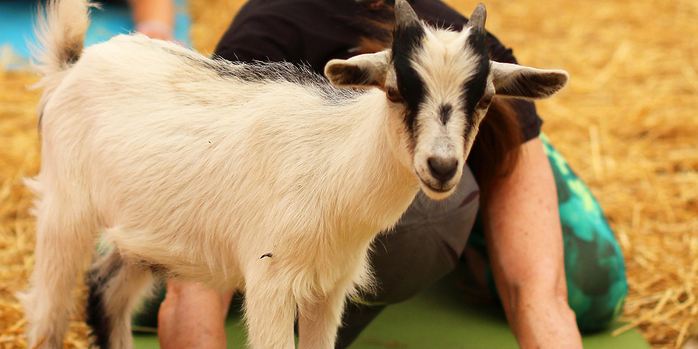 Indoor Yoga with Goats on February 23, 2020 at 1:00pm