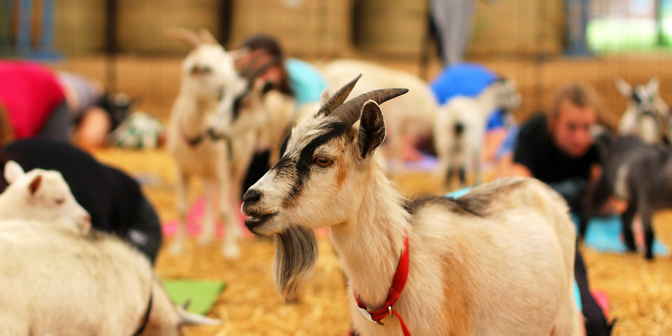 Indoor Yoga with Goats on February 8, 2020 at 1:00pm