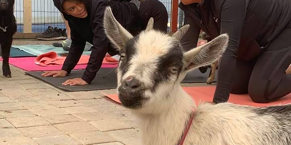 Indoor Yoga with Goats on April 23, 2020 at 6:30pm