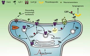 Mechanisms of the gabapentinoids and α2δ‐1 calcium channel subunit in neuropathic pain