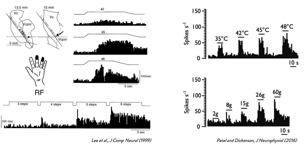 Human Vc neurones exhibit similar coding properties to rat VPL neurones
