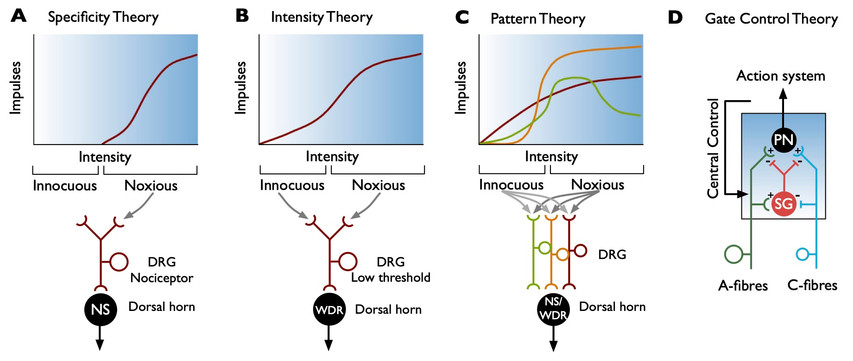Electrophysiological characterisation of neuronal components of cold sensitivity