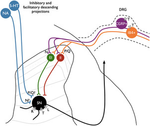 Calcium channel modulation as a target in chronic pain control