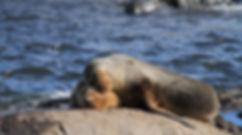 1024px-Sea_Lions_Ushuaia.JPG