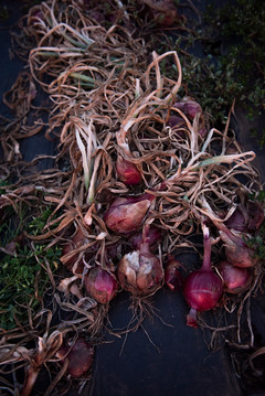 field curing red onions 1 august 2020, t