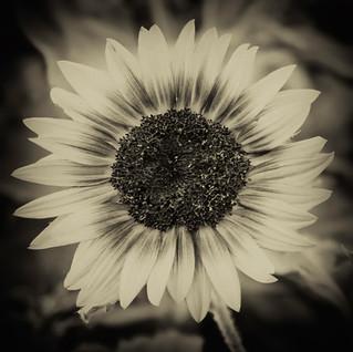 sunflower, 4x4.jpg