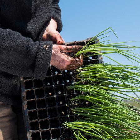 onion planting spring 2020 appleton farm