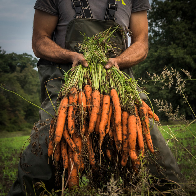 carrot harvest 4, appleton farms, summer