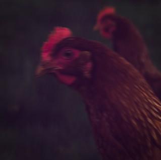 hens, essex.jpg