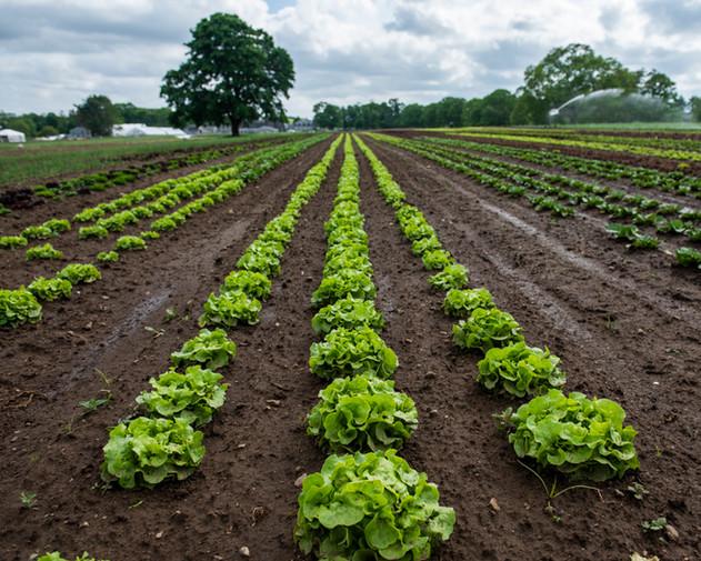 head lettuce in fields, may 2020, terri