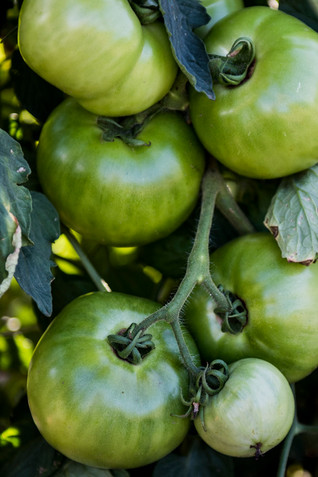 green tomatoes, august 2020, Terri Unger
