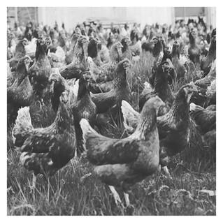 chickens, 3x3.jpg