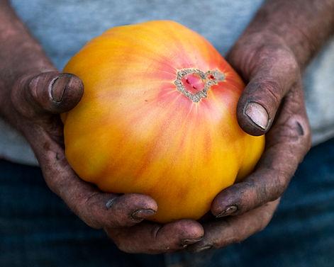 2 pound yellow tomato.jpg