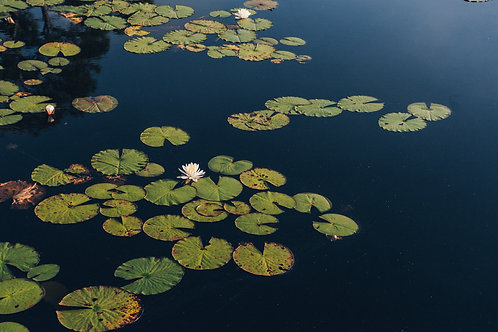"""""""Water Lily"""""""