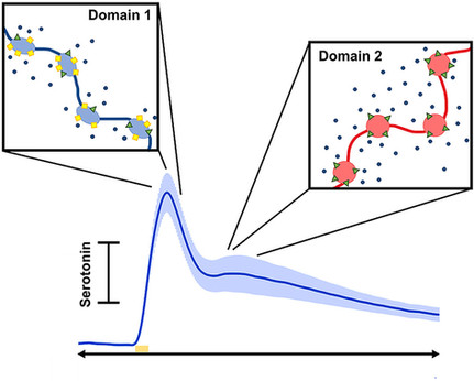Voltammetric evidence for discrete serotonin circuits, linked to specific reuptake domains, in the m