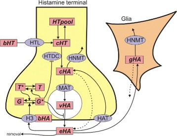 A mathematical model for histamine synthesis, release, and control in varicosities.