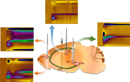 Fast serotonin voltammetry as a versatile tool for mapping dynamic tissue architecture: I. Responses