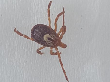Ticks from the Gulf Coast