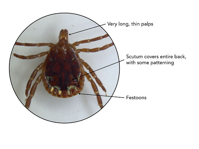 Adult male lone star tick