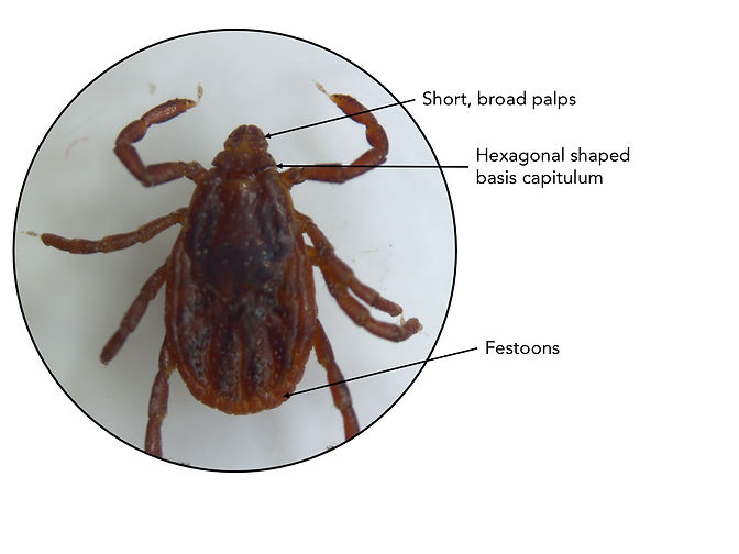 Adult female brown dog tick