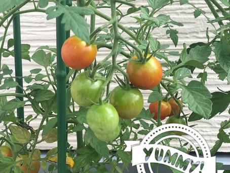 赤いプチトマト