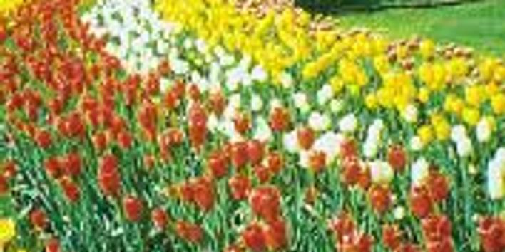 Tip toe through the Tulips--Drive to Pella, Iowa