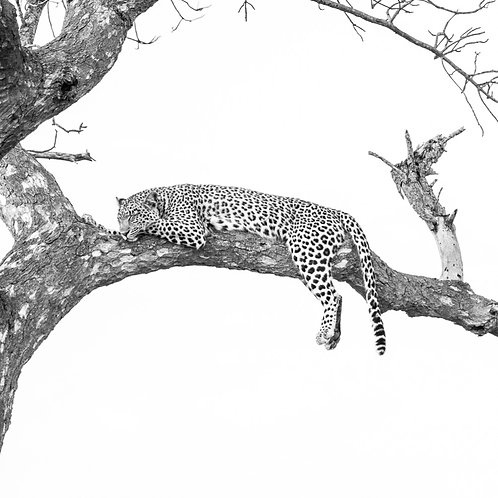 Leopard In A Tree - Timbavarti, South Africa