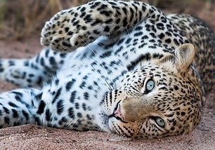 Andympics Leopard-3945.jpg