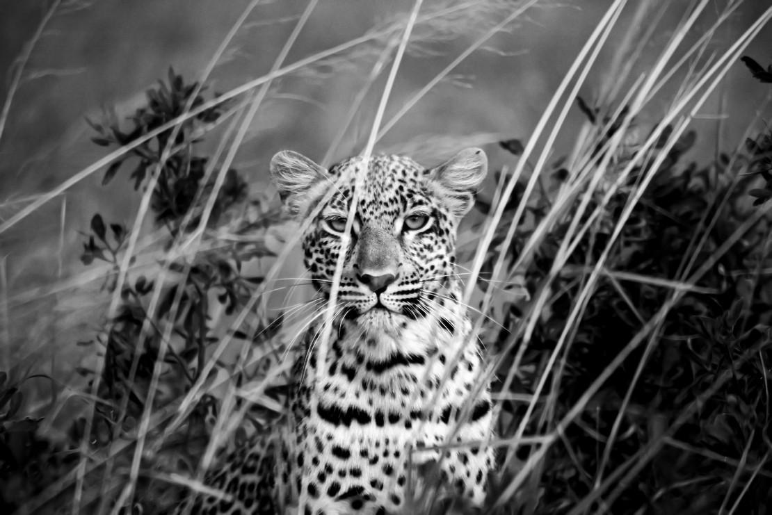 leopard copy-Edit.jpg