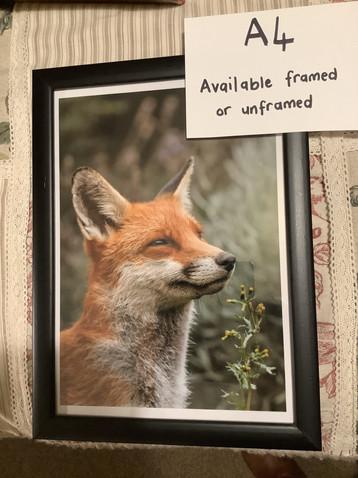 Fox side on