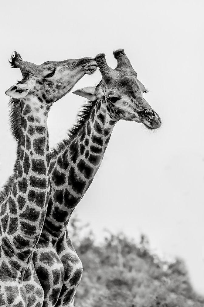 giraffe romance full res.jpg