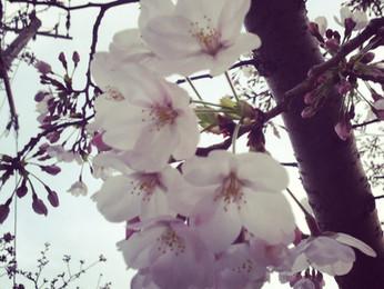 桜が綺麗です→♪