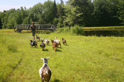 Hiking Goats