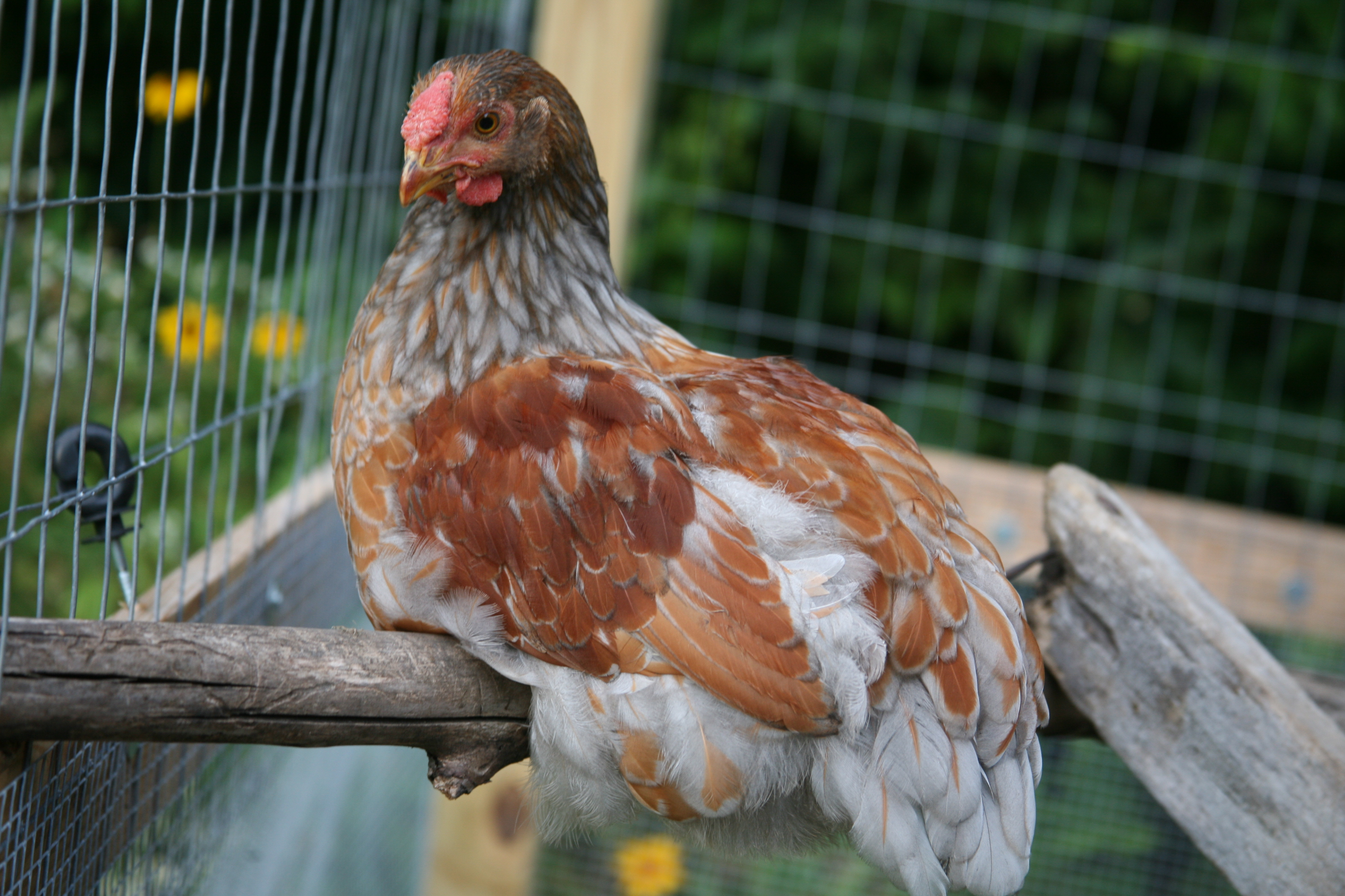 Rio Blue Laced Red Wyandotte
