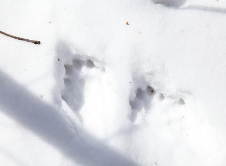 Otter Tracks & April Morning Snowshoe?