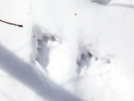 Otter Tracks & April Morning Snowshoe?