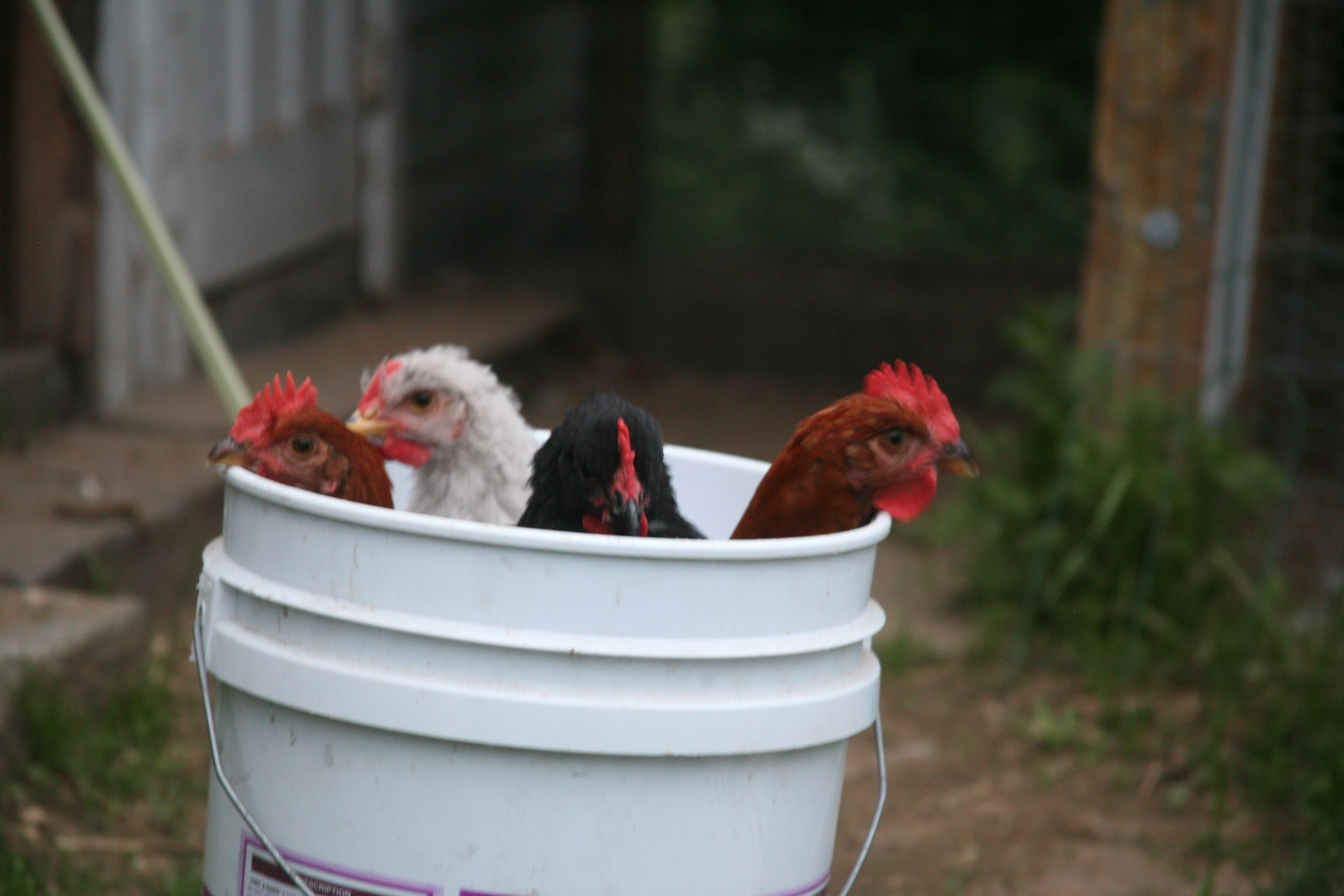 Chicks in a Bucket