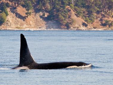 DE BESTE PLEK IN CANADA OM ORKA'S TE SPOTTEN