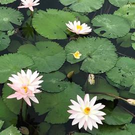 Lotus Bali.JPG