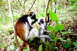Jozani Forest, Zanzibar Tanzania