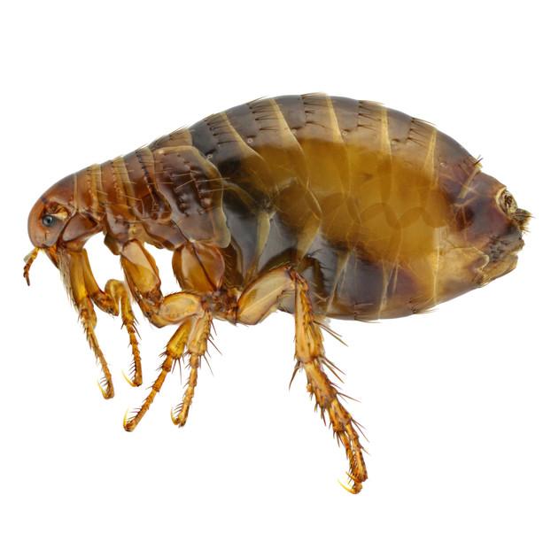 Fleas, Ticks & Bedbugs