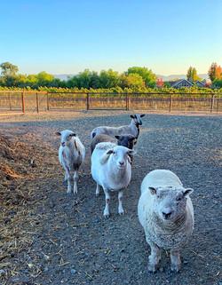 Solminer-Sheep-at-Sunset